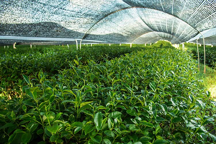 Shade Grown Japanese Green Tea