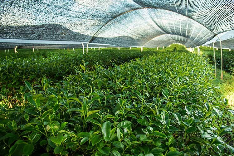Shade Grown Japanese Green Tea