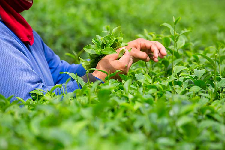 Hand Picking Matcha